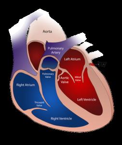 малоинвазивная замена аортального клапана сердца